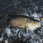 smallmouth bass caught with lure