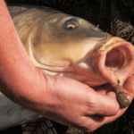 hand holding carp caught with bait